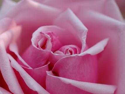20130217_rose_04