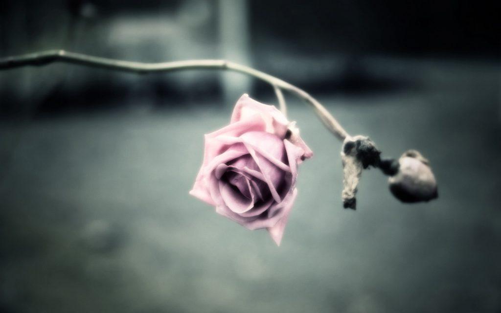 20130217_rose_03